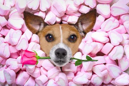 사랑스러운 배경으로 마시맬로로 가득차있는 침대에 누워있는 동안 당신을 쳐다보고 쳐다보고있는 잭 러셀 강아지, 입안에 핑크 로즈