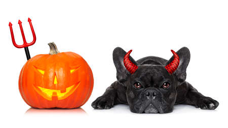 halloween devil french bulldog  dog beside a pumpkin, scared and frightened, with blank empty blackboard or placard, isolated on white background