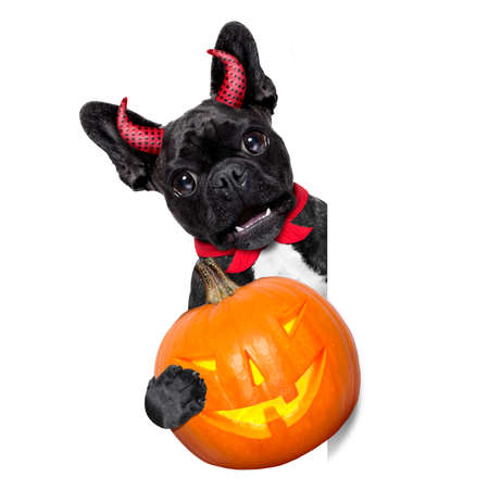 halloween  witch french bulldog  dog  dressed as a bad devil with red cape holding a pumpkin , side banner or placard ,isolated on white background Stock Photo