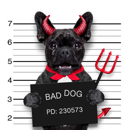 photo: halloween devil pug dog crying in a mugshot, caught on with photo  camera, in police station jail Stock Photo
