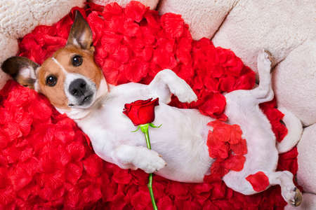 happy holidays: jack russell  dog looking and staring at you in love  ,while lying on bed with valentines petal roses as background, holding a red rose