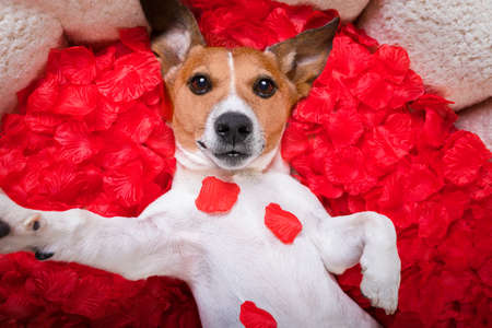 photo: Jack russell  dog looking and staring at you in love  ,while lying on bed with valentines petal roses as background, taking a selfie