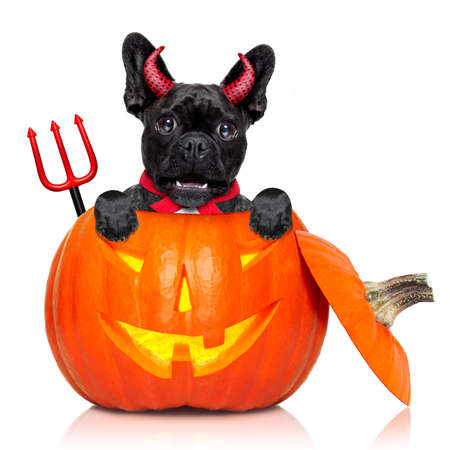 perro asustado: halloween devil french bulldog dog inside pumpkin, scared and frightened, isolated on white background