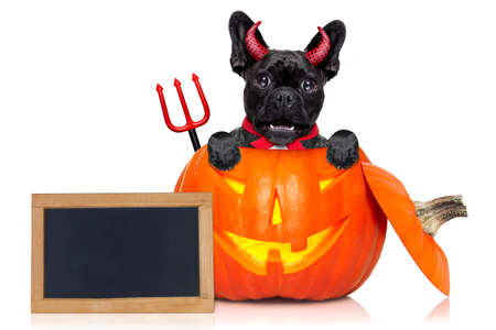 perro asustado: halloween devil french bulldog dog inside pumpkin, scared and frightened, with blank empty blackboard or placard, isolated on white background Foto de archivo
