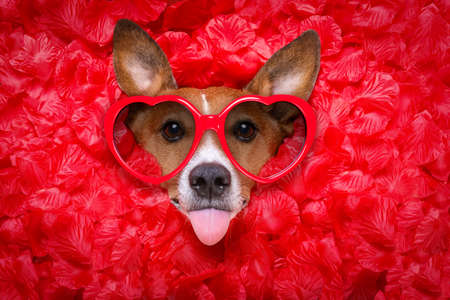 Jack russell  dog looking and staring at you   ,while lying on bed full of rose petals as background  , in love on valentines day, sticking out tongue wearing funny glasses