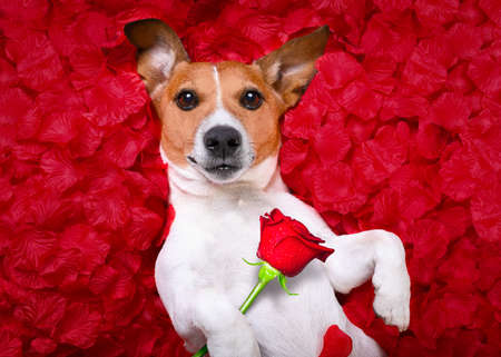 jack russell  dog looking and staring at you in love  ,while lying on bed with valentines petal roses as background, holding a red rose