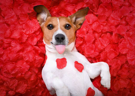 Jack russell  dog sticking out tongue ,while lying on bed full of rose petals as background  , in love on valentines day, Stock Photo