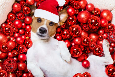 christmas celebration: jack russell terrier  dog with santa claus hat for christmas holidays resting on a xmas balls background Stock Photo