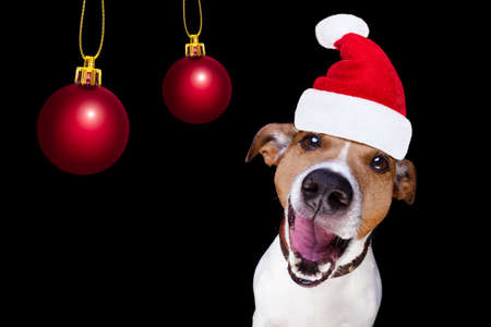 close up: jack russell terrier dog isolated on black background looking at you  with open smacking mouth with santa hat for christmas holidays and xmas balls
