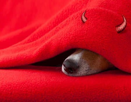 red sheet: jack russell devil dog  with halloween horns  sleeping under the blanket in bed the  bedroom, ill ,sick or tired,  red sheet covering its face
