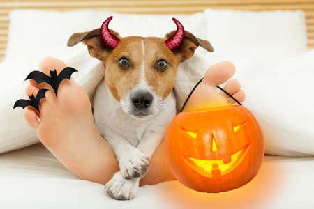 jack russell terrier dog  looking at you  under blanket in bedroom with owner   for halloween with devil horns and pumpkin lantern light Stock Photo