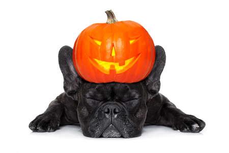 perro asustado: diablo de Halloween perro bulldog francés, miedo y con temor, dormir, aislado en fondo blanco