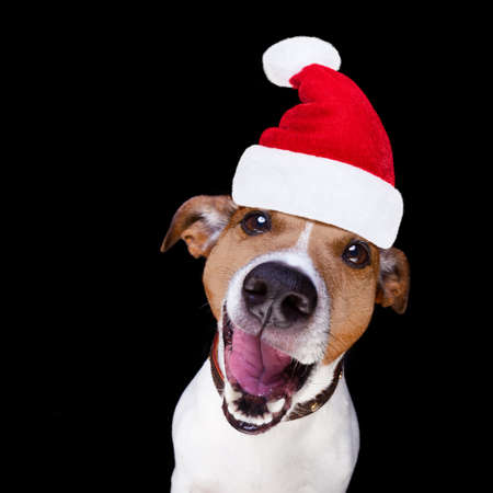 happy holidays: jack russell terrier dog isolated on black background looking at you  with open smacking mouth with santa hat for christmas holidays