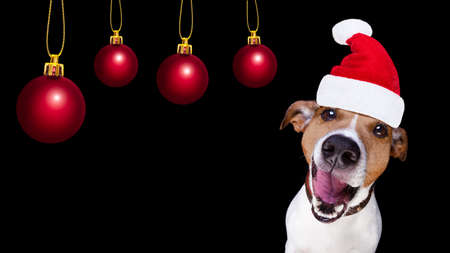 happy holidays: jack russell terrier dog isolated on black background looking at you  with open smacking mouth with santa hat for christmas holidays and xmas balls