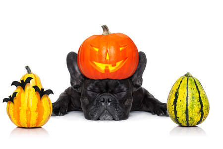 halloween devil french bulldog  dog ,scared and frightened,sleeping, isolated on white background