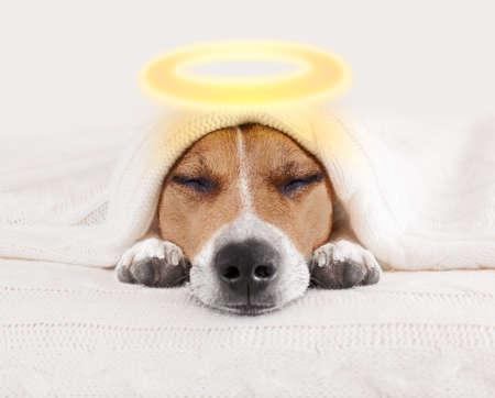 잭 러셀 강아지 침대에서 담요 아래 침실에서 할로윈에 대 한 헤일로와 천사