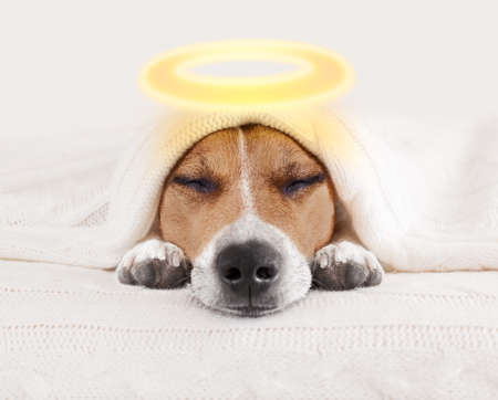 jack russell dog  sleeping under the blanket in bed the  bedroom, as angel with halo for halloween Stock Photo