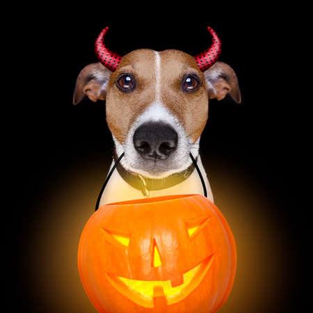 satanas: Jack Russell terrier perro aislado en el fondo negro que le mira con la boca abierta sosteniendo un chasquido luz de la linterna de calabaza para Halloween Foto de archivo