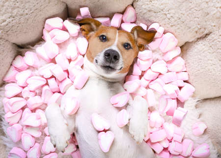 Jack russell  dog looking and staring at you   ,while lying on bed   in love, marshmallows as a background