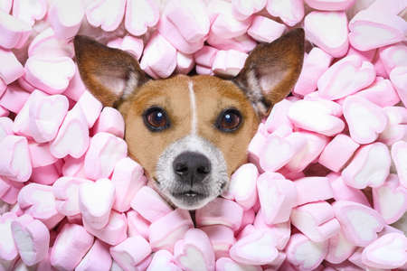 Jack russell  dog looking and staring at you   ,while lying on bed full of marshmallows as background  , in love Stock Photo