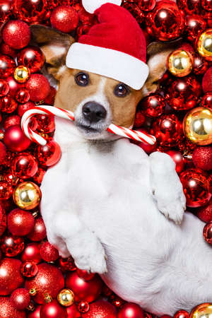 white background: jack russell terrier  dog with santa claus hat for christmas holidays resting on a xmas balls background with candy sugar stick