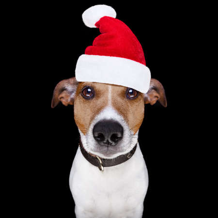 jack russell terrier dog isolated on black background looking at you  with santa hat for christmas holidays Stock Photo