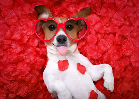 Jack russell  dog sticking out tongue ,while lying on bed full of rose petals as background  , in love on valentines day, wearing sunglasses