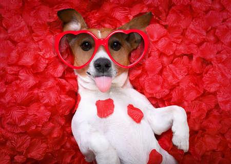sacar la lengua: Jack Russell perro fuera la lengua, mientras está acostado en la cama llena de pétalos de rosa como fondo, en el amor en el día de San Valentín, con gafas de sol Foto de archivo