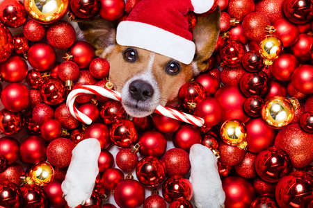 christmas gifts: jack russell terrier  dog with santa claus hat for christmas holidays resting on a xmas balls background with candy sugar stick