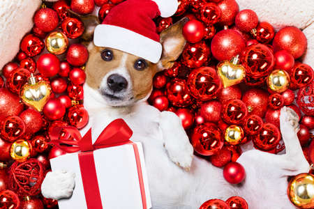 christmas gifts: jack russell terrier  dog with santa claus hat for christmas holidays resting on a xmas balls background with gift or present box