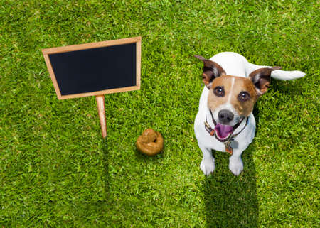 shit: jack russell dog guilty for the poop or shit on grass and meadow in park outdoors , banner placard sign to the side as blackboard