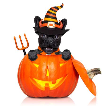perro asustado: Halloween diablo francés perro del dogo en el interior de la calabaza, miedo y con temor, aislado en fondo blanco