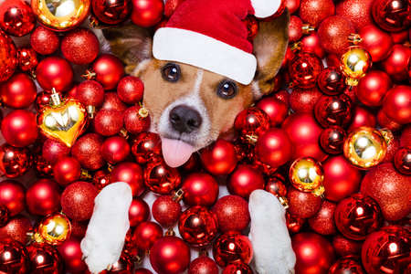 white background: jack russell terrier  dog with santa claus hat for christmas holidays resting on a xmas balls background sticking out tongue