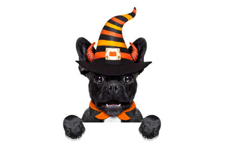halloween  witch french bulldog  dog  dressed as a bad devil behind blank banner or placard, isolated on white background