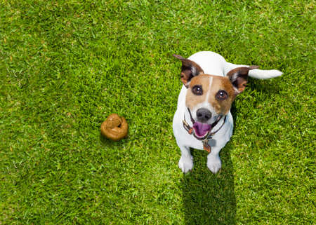 puppy dog: jack russell dog guilty for the poop or shit on grass and meadow in park outdoors Stock Photo