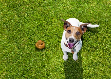 asiento: Jack Russell perro culpable de la toldilla o de mierda en el césped y pradera en el parque al aire libre Foto de archivo