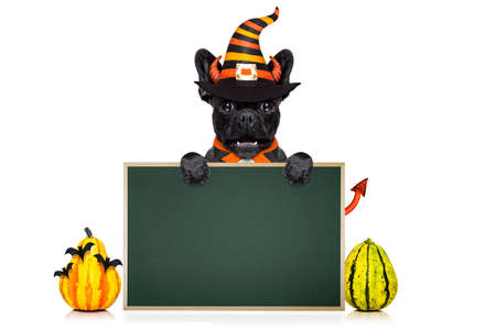 halloween  witch french bulldog  dog  dressed as a bad devil banner or placard, isolated on white background