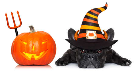 halloween devil french bulldog  dog beside a pumpkin, scared and frightened, with pumpkin,  isolated on white background Archivio Fotografico