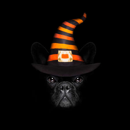 frenchie: halloween  witch french bulldog  dog  dressed as a bad devil with horns, isolated on black dark dramatic background