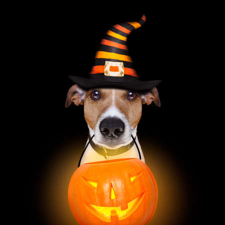 jack russell terrier dog isolated on black background looking at you  with open smacking mouth holding a pumpkin lantern light for halloween
