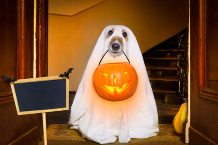 dog sit as a ghost for halloween in front of the door  at home entrance with pumpkin lantern or  light , scary and spooky with placard or banner Stock Photo