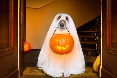 dog sit as a ghost for halloween in front of the door  at home entrance with pumpkin lantern or  light , scary and spooky Archivio Fotografico