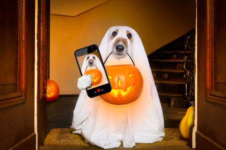 dog sit as a ghost for halloween in front of the door  at home entrance with pumpkin lantern or  light , scary and spooky taking  a selfie with smartphone