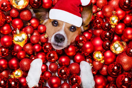 jack russell: jack russell terrier  dog with santa claus hat for christmas holidays resting on a xmas balls background Stock Photo