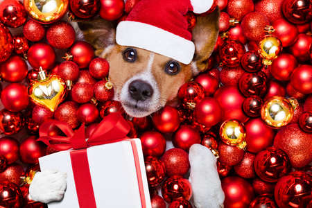 white background: jack russell terrier  dog with santa claus hat for christmas holidays resting on a xmas balls background with gift or present box