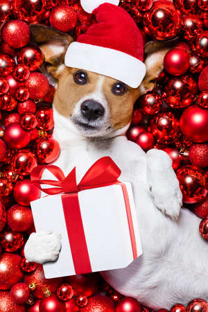 russell: jack russell terrier  dog with santa claus hat for christmas holidays resting on a xmas balls background with gift or present box