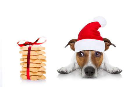 cão de Jack Russell com o chapéu vermelho de Papai Noel para as férias de Natal e um presente de cookies ou deleites