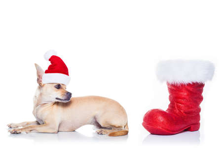 dog: chihuahua  dog with red  christmas santa claus hat  for xmas holidays and red boot