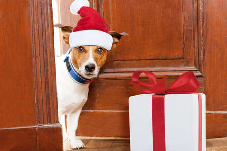christmas celebration: jack russell dog with red  christmas santa claus hat  for xmas holidays waiting at door entrance at home with present ot gift box