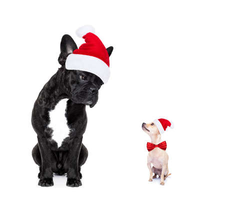 dog: chihuahua and french bulldog santa claus hat dogs, attracted and looking to each other in love, isolated on white background on xmas holidays